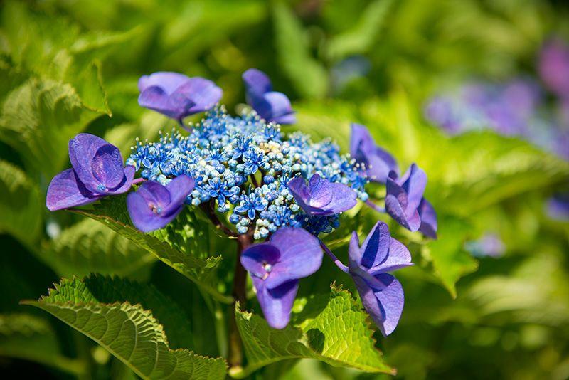 種類 紫陽花