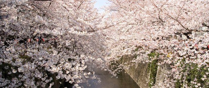 Sakura Cherry Blossoms Nippon Com