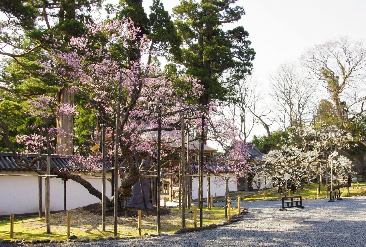 The ancient Garyūbai plum trees add splashes of pink and white to the temple's front garden. (Photo courtesy of Zuiganji)