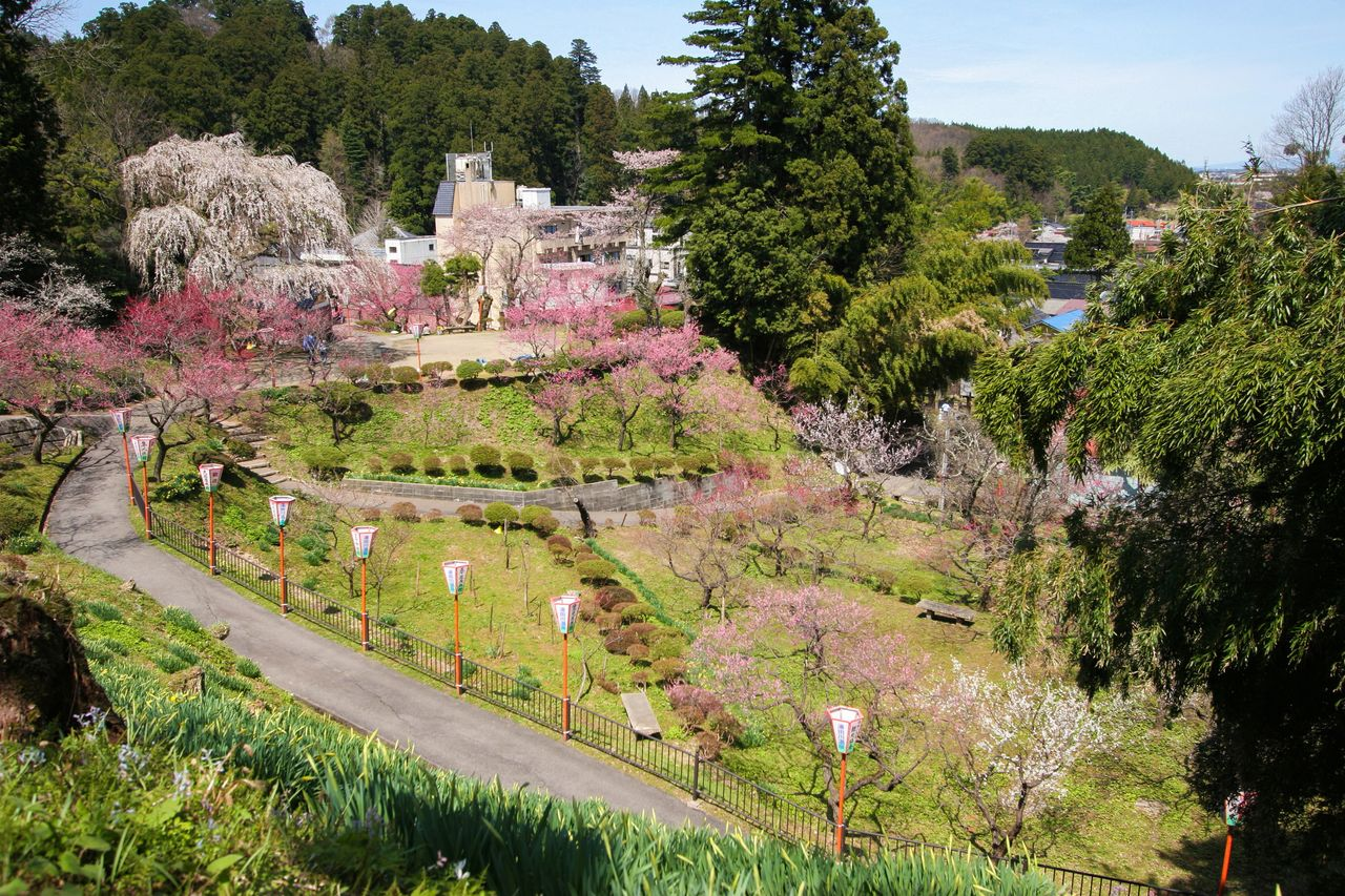 A profusion of pink and white blossoms adorn the park situated above the hot springs town. (Photo courtesy of the Yutagawa Onsen Tourist Association)