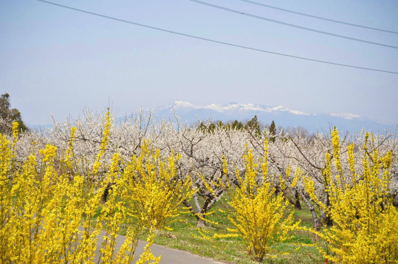 A profusion of white plum blossoms highlighted by bright yellow forsythia. (Photo courtesy of the Kōriyama City Tourist Association)