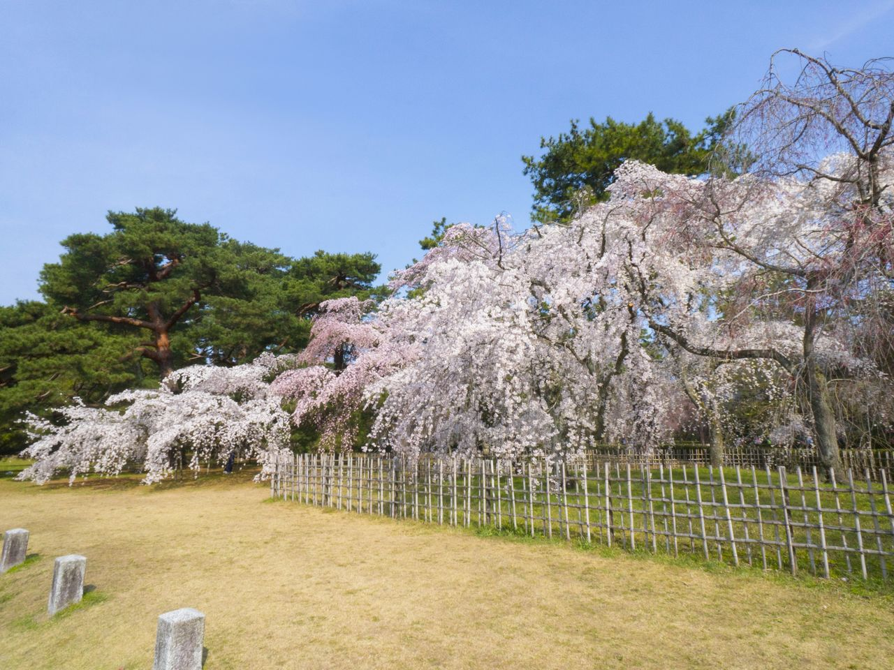 The blooming of the <em>itozakura</em> is a harbinger of the coming of spring in Kyoto Gyoen National Garden.