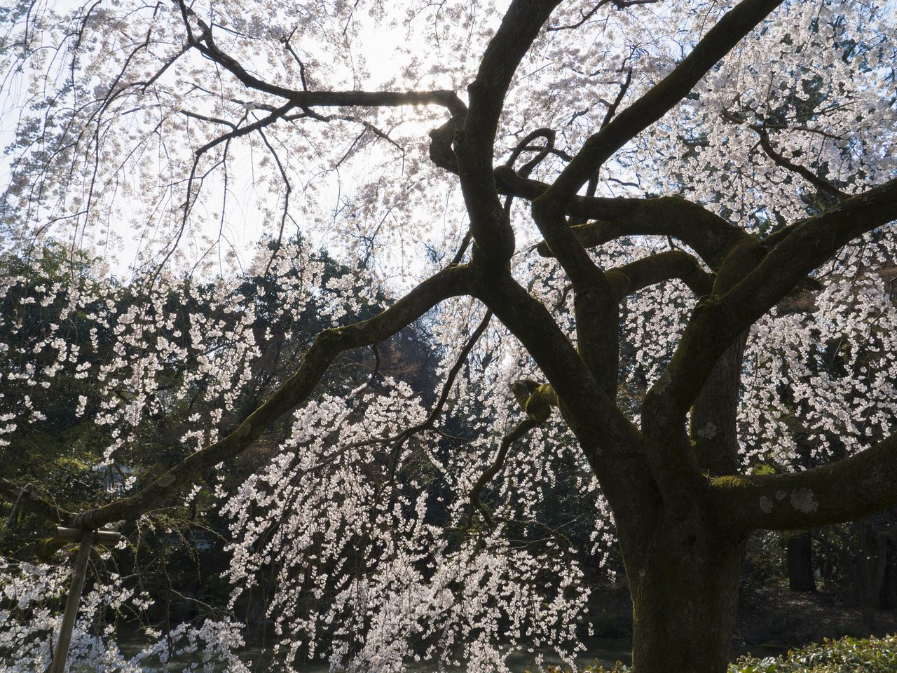 Seen from below, the lovely blossoms and delicate branches of the itozakura trees are enchanting.
