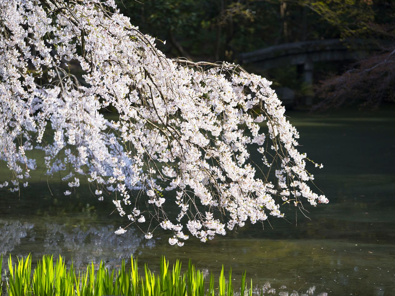 The blossoms above the Konoe pond are another lovely sight.