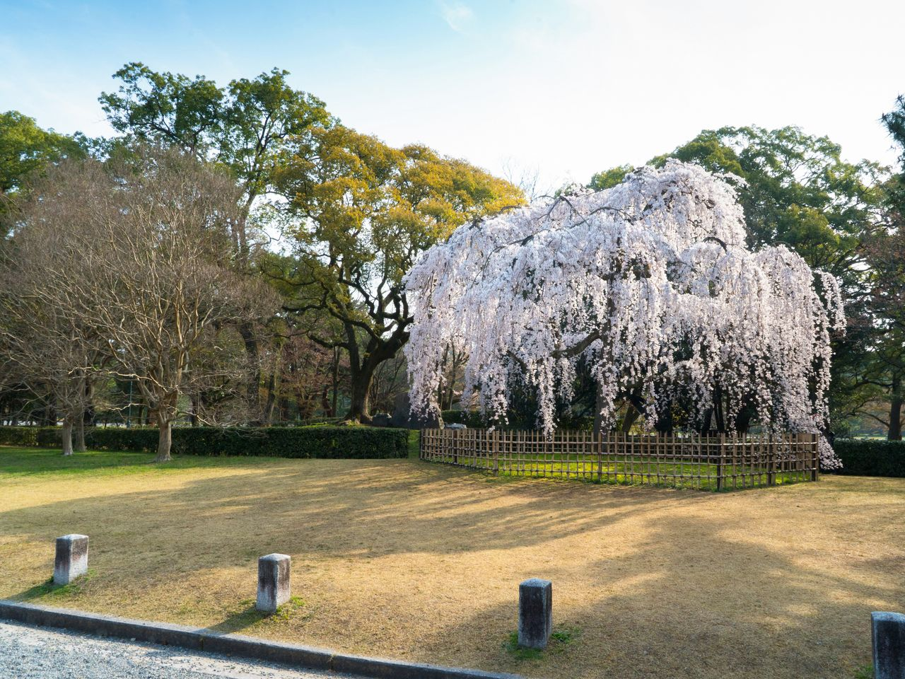 The Demizu shidarezakura blooms early in the season, at nearly the same time as the weeping cherry trees.