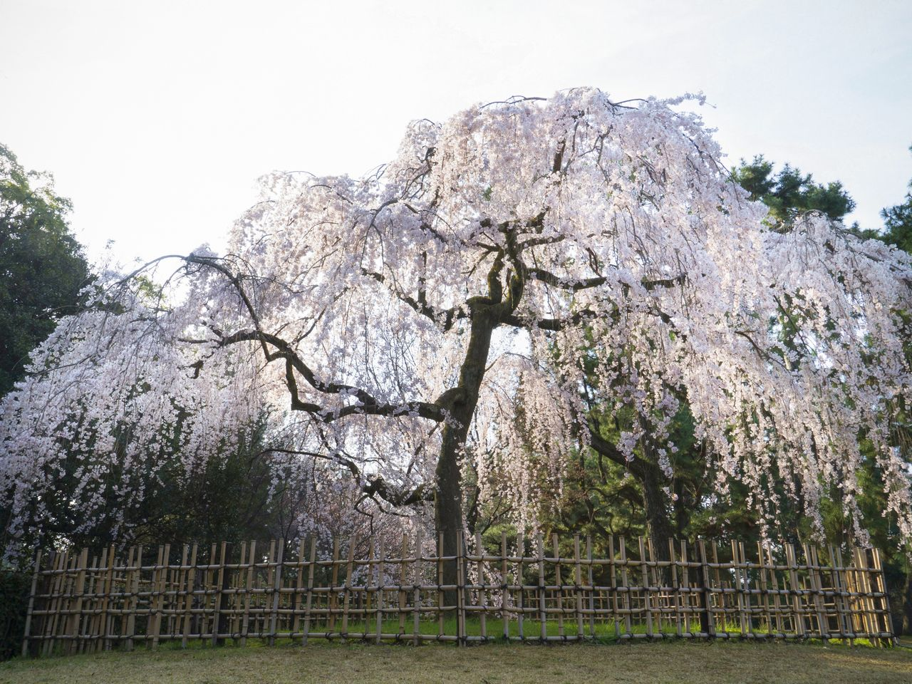 The tree combines an imposing array of branches with delicate, beautiful blossoms.