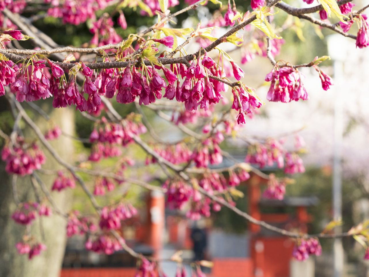 The Taiwan cherry is best viewed in mid-March.