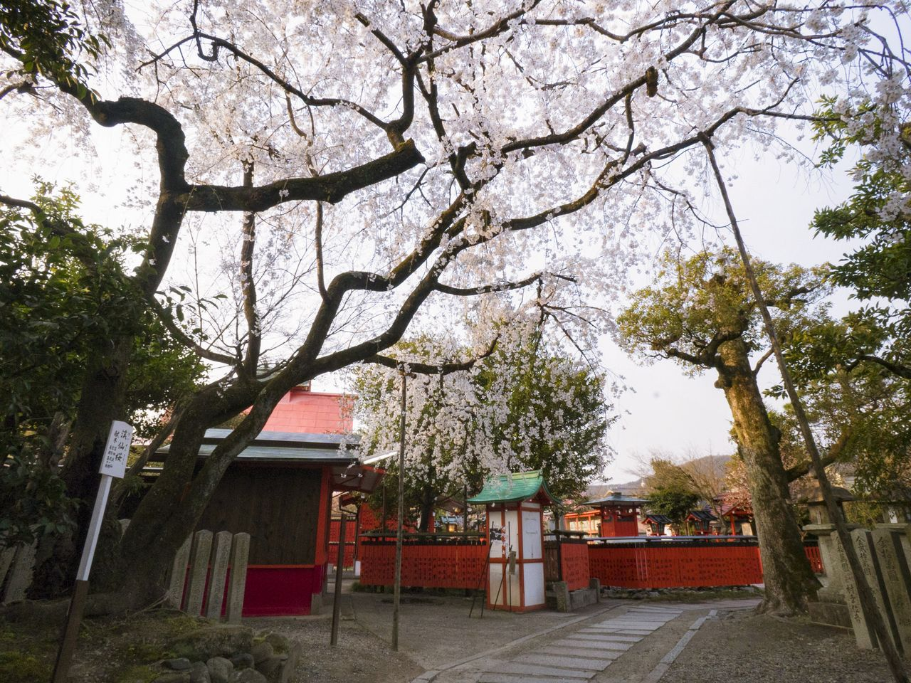 East along the shrine path from the chūmon (inner gate) brings visitors to where the elegant Keisen-zakura stands. It is said that Keisen was a close friend of Tomioka Tessai—one of the grand masters of Japanese-style picture painting, who also served as chief priest of Kurumazaki Shrine.