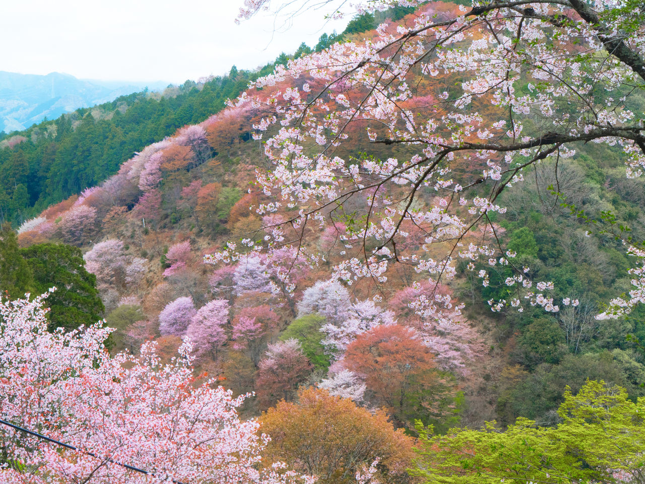 A view of the shimo-senbon cherry blossoms.
