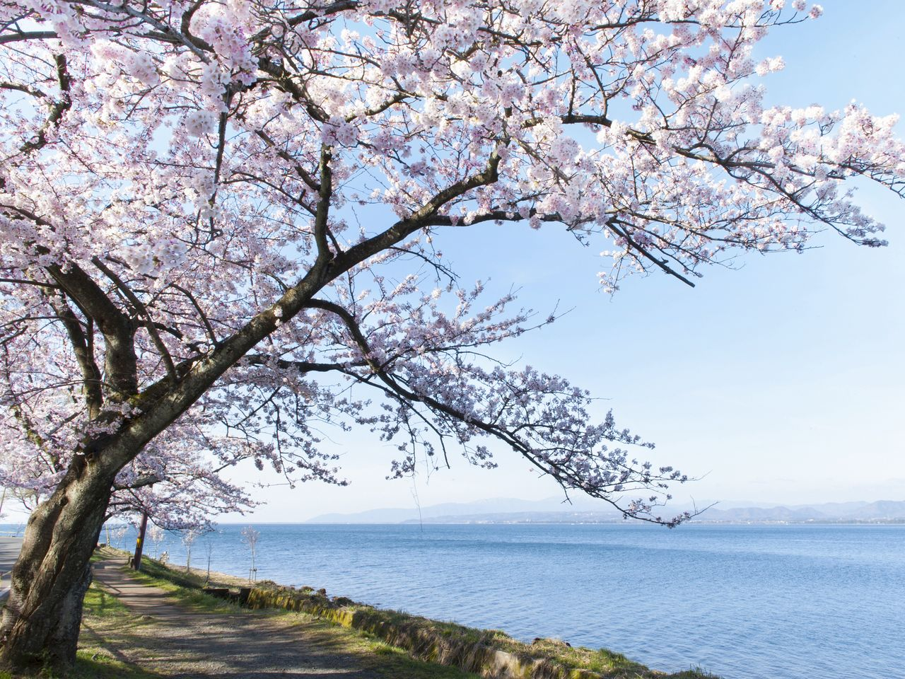 Pale flowers offer a pleasing contrast to the blue skies and waters of Lake Biwa.