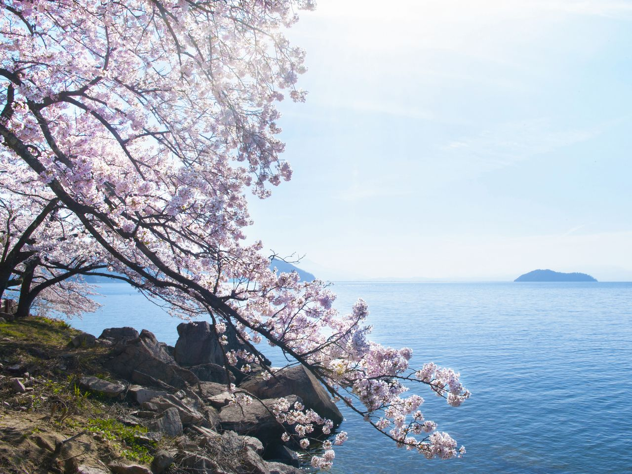Pretty as a picture: sakura in bloom against rocky outcroppings along the shore at Kaizu Ōsaki. To the right is Chikubu Island.