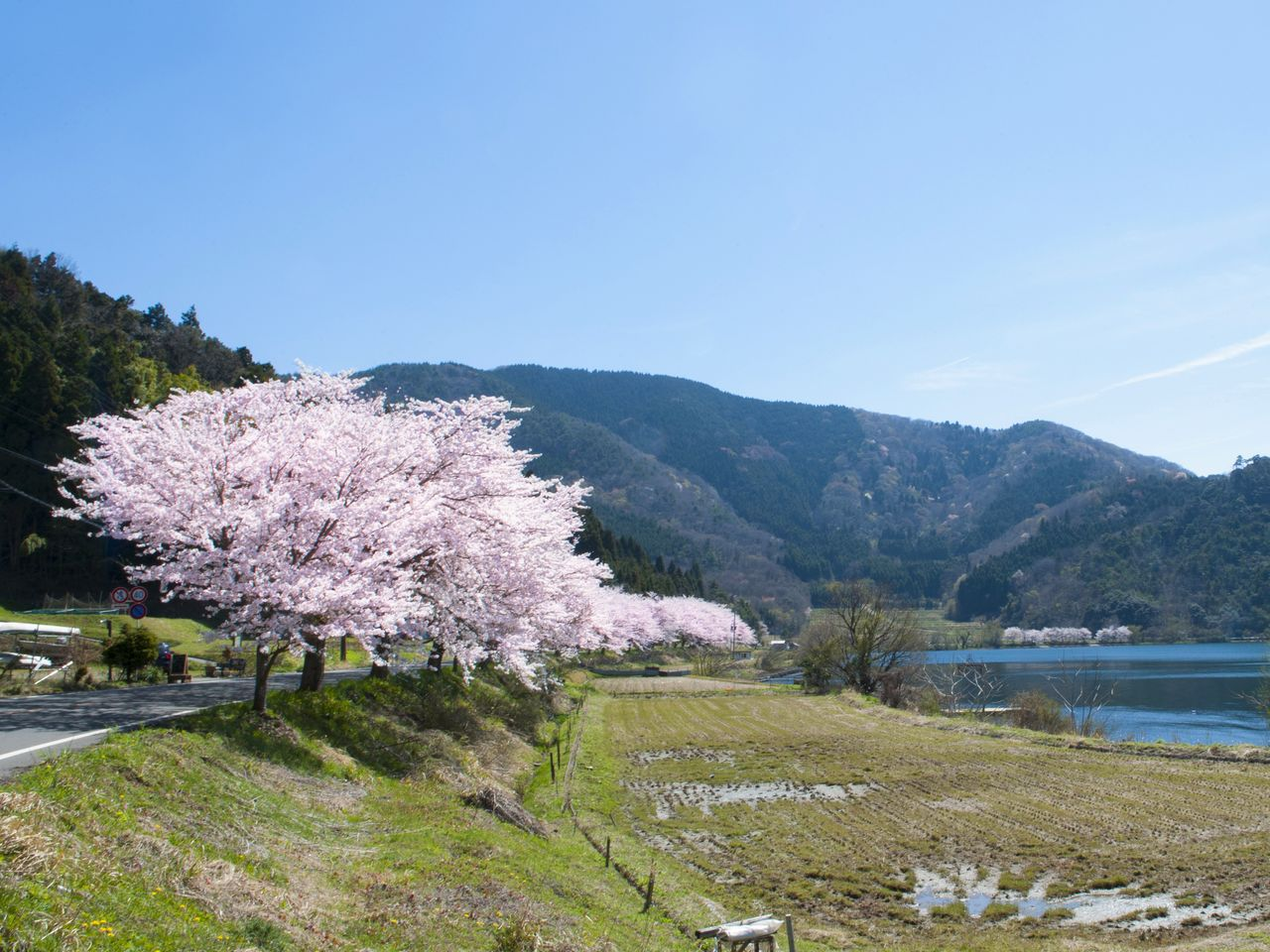 The cherry trees along the Oku-Biwako Parkway are just 20 to 25 years old, much younger than those at Kaizu Ōsaki.