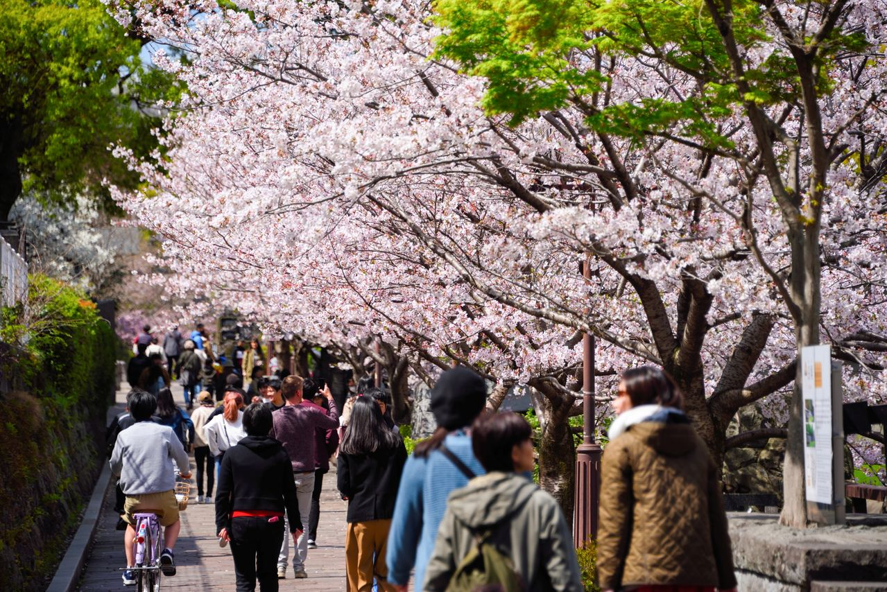 Blossom-viewers converge on Kumamoto Castle in great numbers.