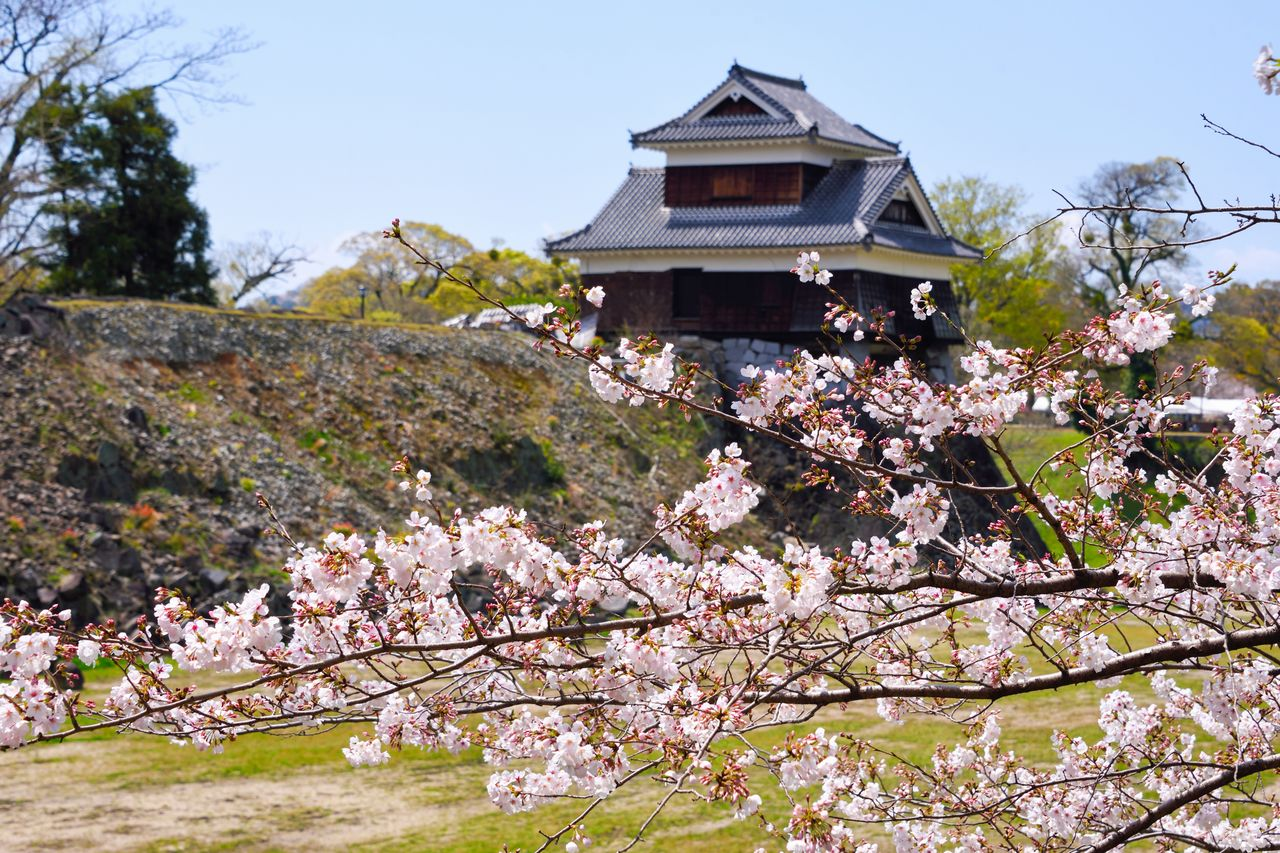 Beautiful blossoms on display near a collapsed rock wall of Kumamoto Castle.