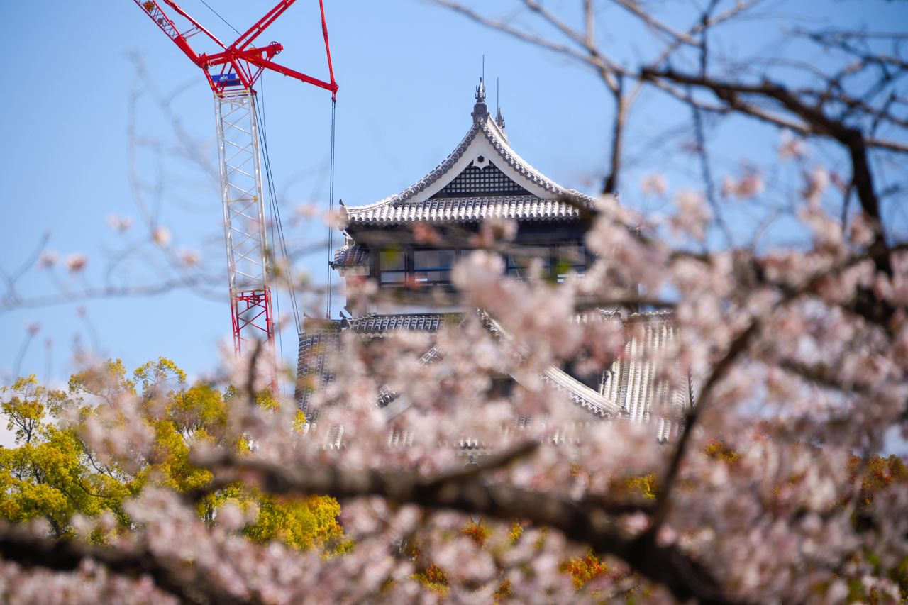 The new shachihoko sculptures atop the main donjon. The brand-new roof tiles and mortar are set off by cherry blossoms.