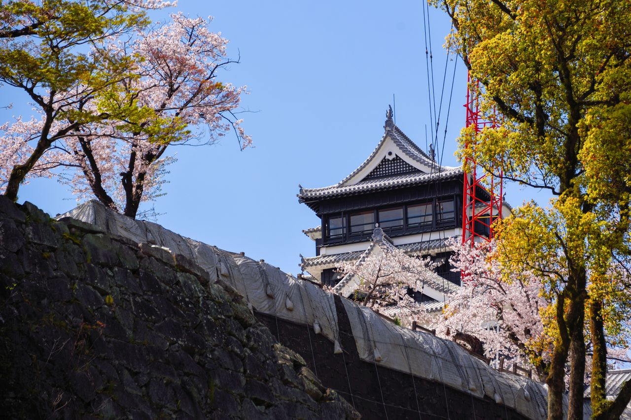 The stone wall, under reconstruction, and the cherry blossoms and the shachihoko sculpture of the main donjon beyond.