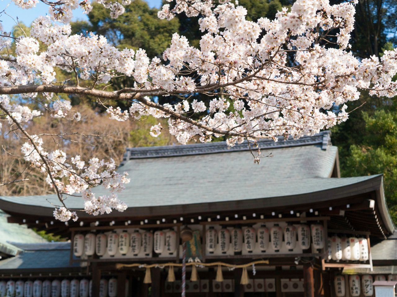 Cherries lend their color to the shrine's main hall. The Ōka Matsuri held here every year on the first Sunday of April is a celebration of the blossoms.