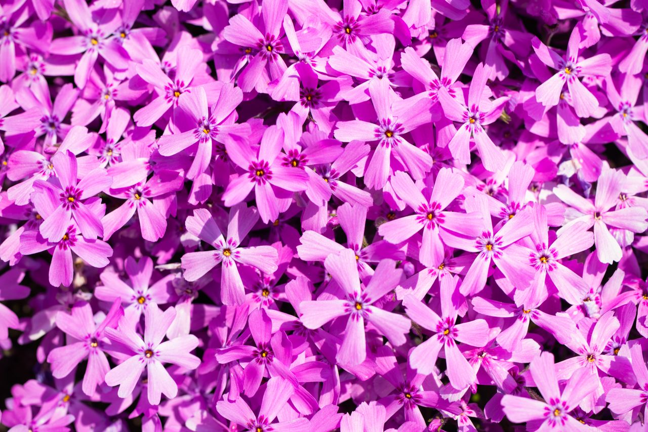 The moss phlox flowers are pink with subtle touches of purple.