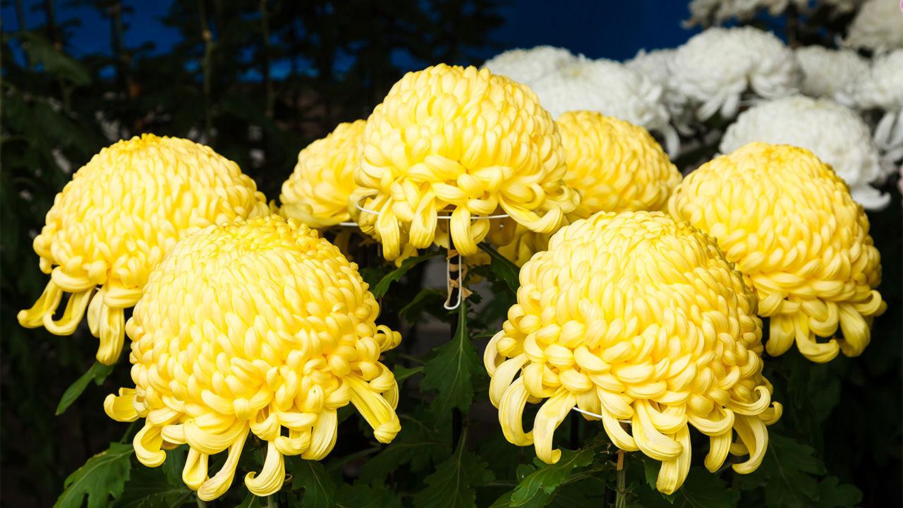 The Chrysanthemum: Flower of Emperors