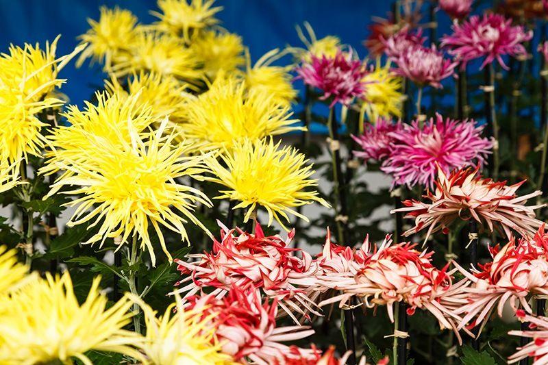 The Chrysanthemum Flower Of Emperors Nipponcom