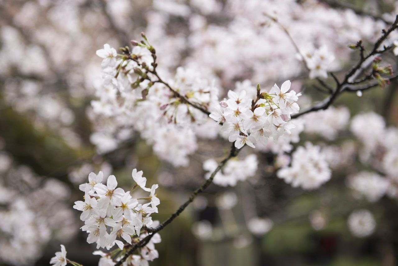 A Cherry Blossom Expert S Guide To Flower Viewing Nippon Com