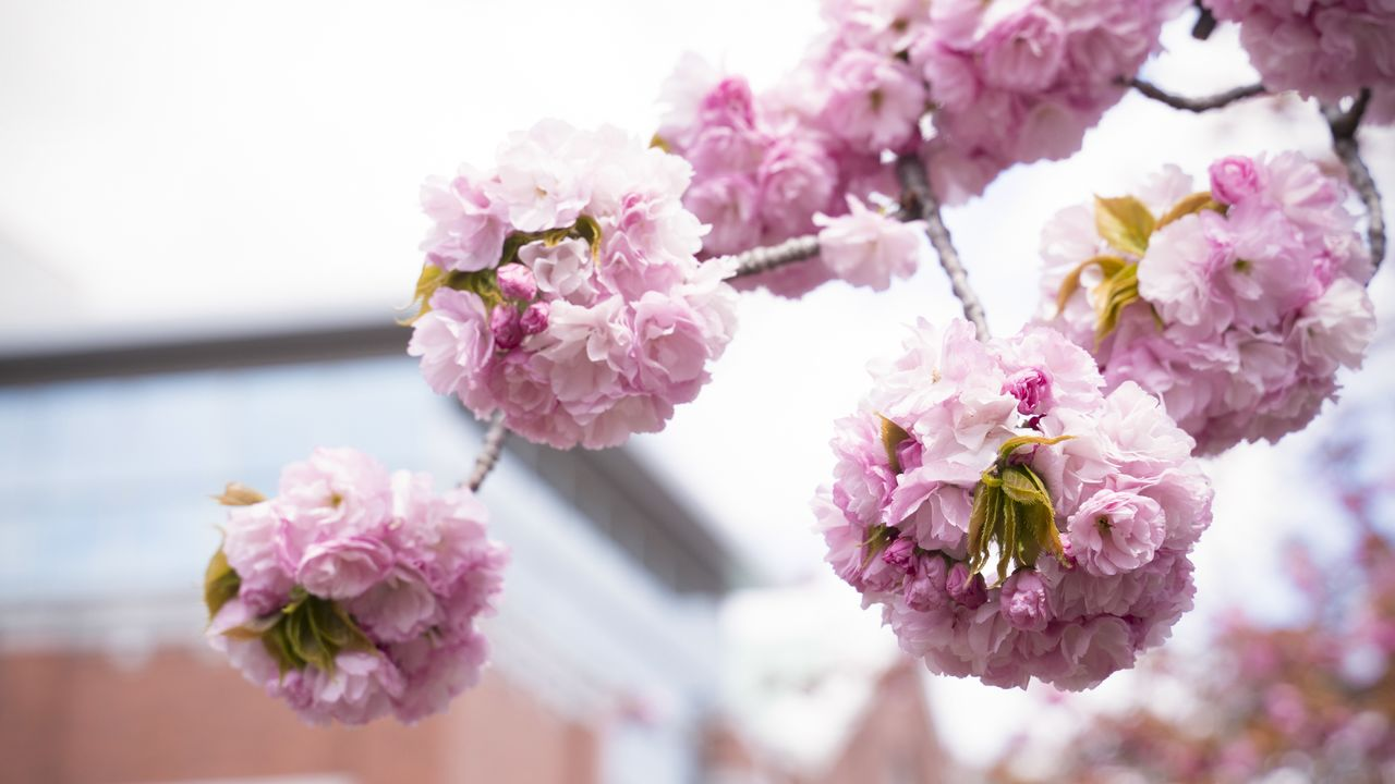 Cherry Blossoms In Osaka Nippon Com