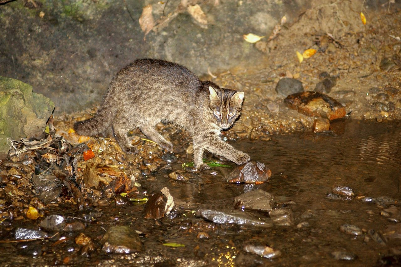 The Iriomote cat, which is only found on Iriomotejima. (Courtesy OCVB)