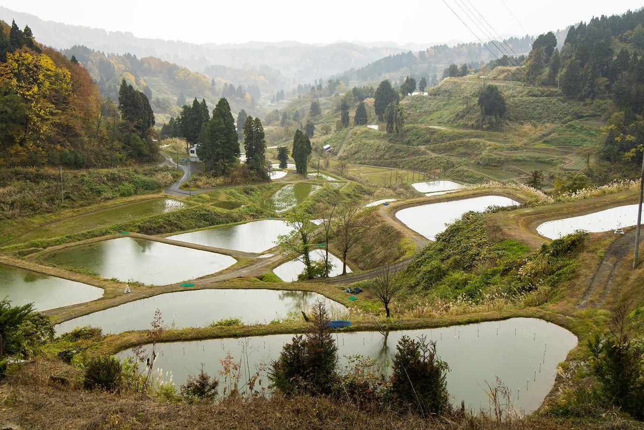 Distrik Yamakoshi di Nagaoka disebut sebagai rumah nishikigoi. Apa yang sekilas tampak seperti sawah sebenarnya adalah kolam untuk budidaya ikan mas.