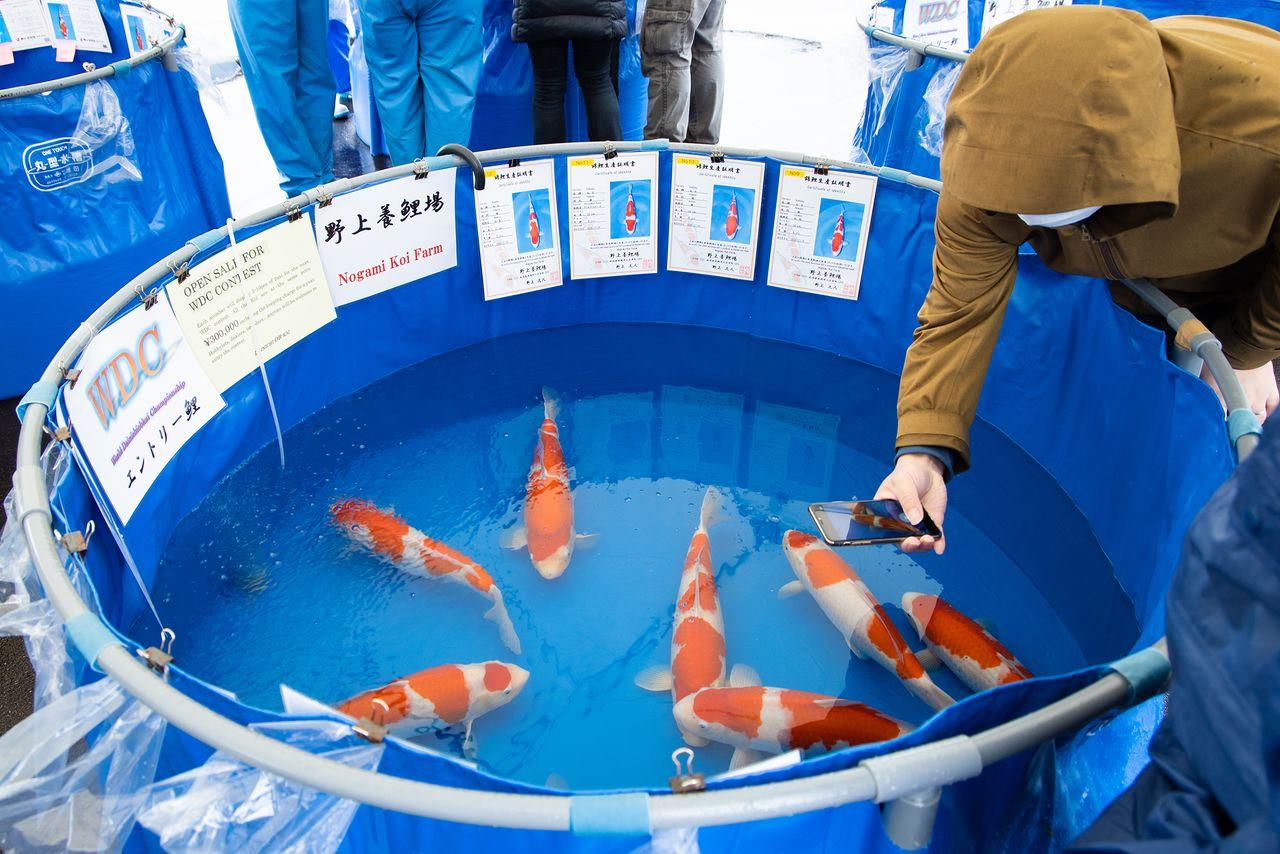 Pembeli mengirimkan foto dan video ikan ke kolektor luar negeri secara real time.