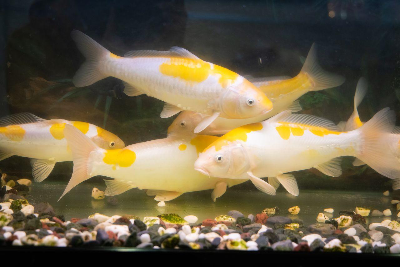 Ikan mas muda dari varietas kijiro di akuarium rumah.
