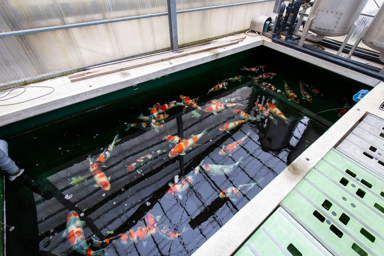 Untuk mempersiapkan nishikigoi untuk dipamerkan di sebuah pertunjukan, mereka dipelihara di kolam besar agar mereka memiliki banyak ruang untuk tumbuh.