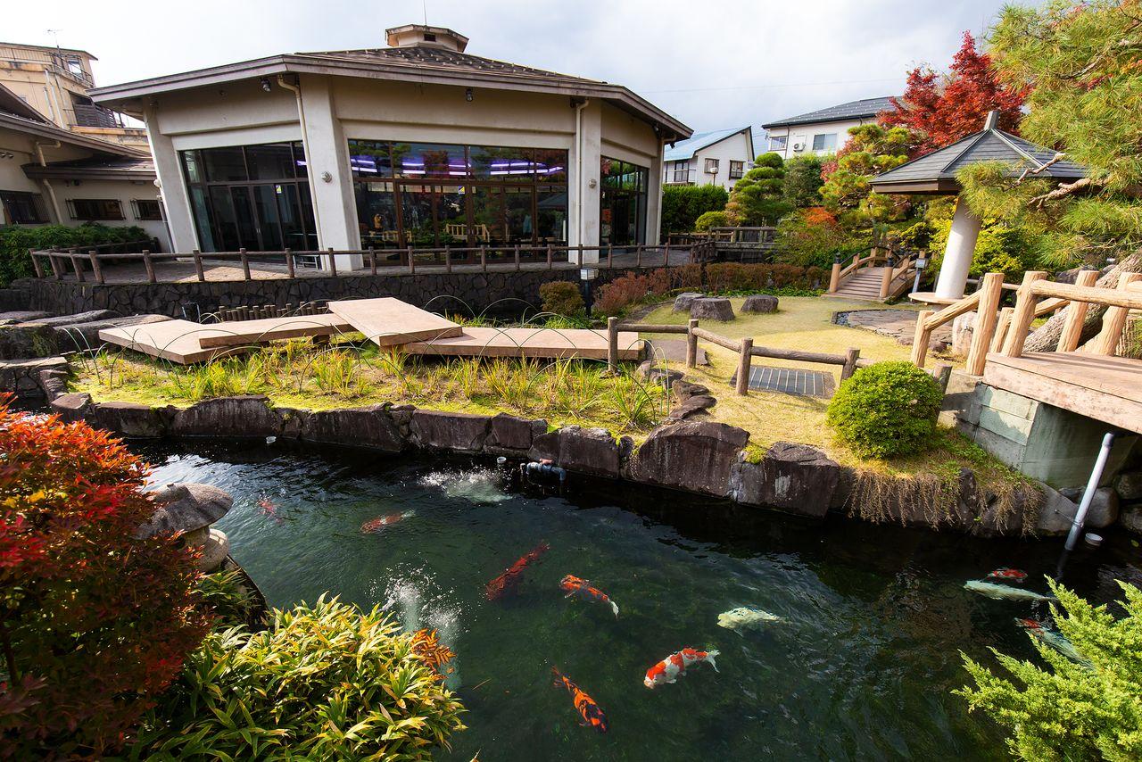 Nishikigoi yang berenang di kolam luar ruangan akan dipindahkan ke tangki dalam ruangan begitu cuaca berubah dingin di bulan November.