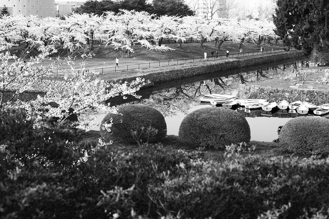 Bunga sakura bermekaran penuh di Taman Goryōkaku. (2014)