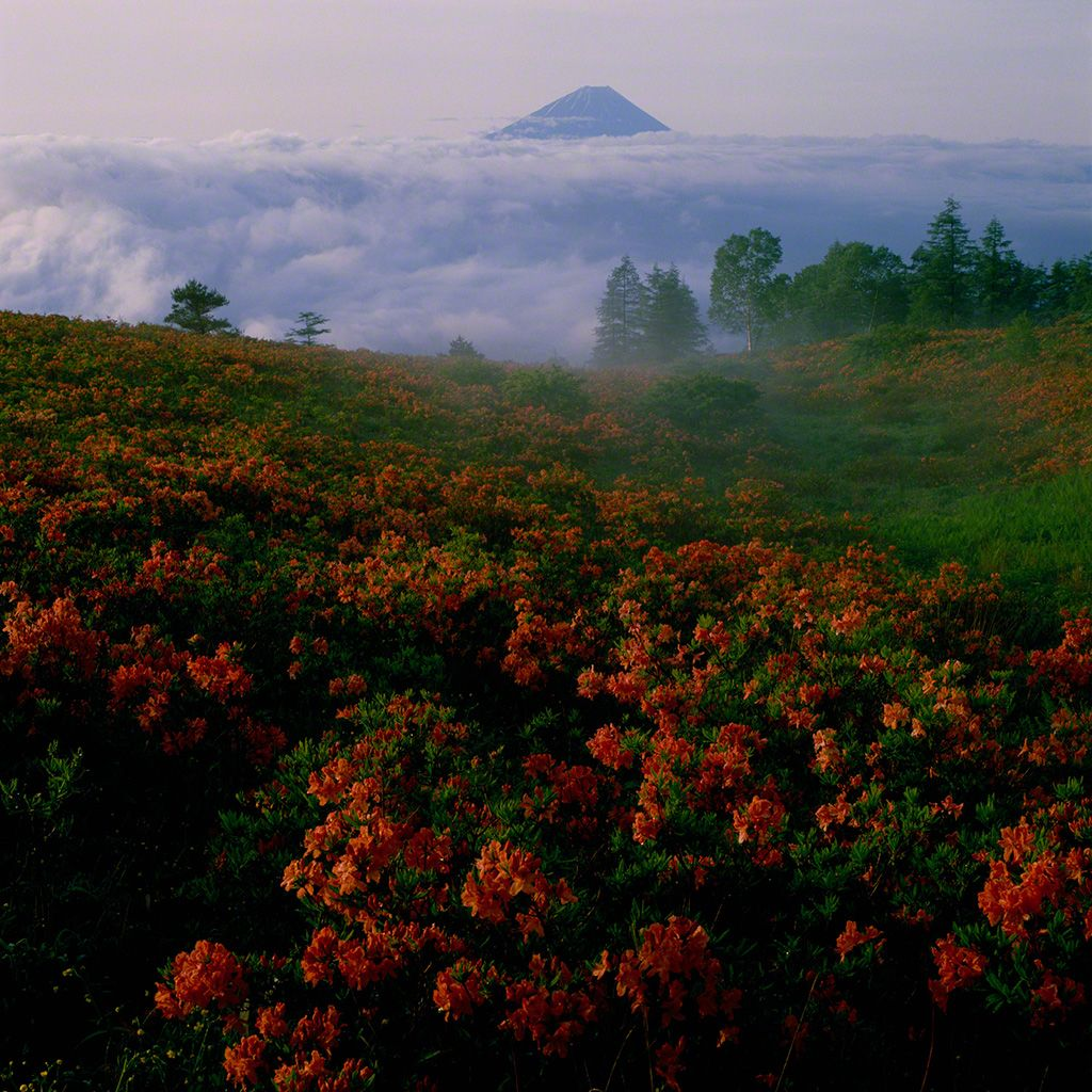 Blooming azaleas in the foothills of Mount Fuji (July)