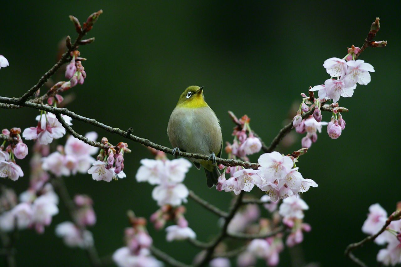 March 19 The Japanese white-eyes appear in the branches of an early-blossoming wild Himalayan cherry tree, as if they have been waiting for it to bloom.