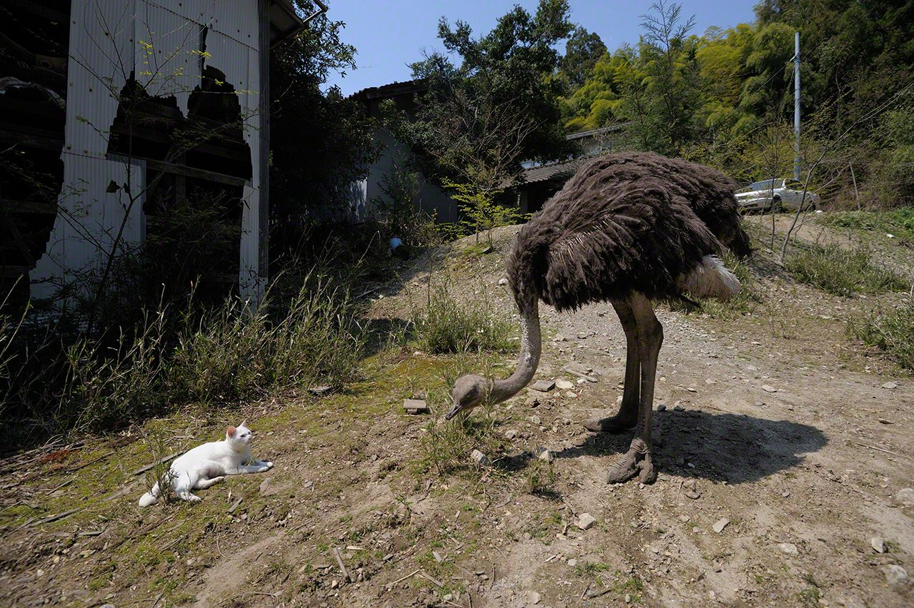 Shiro and Sabi were often found near (but not too near) this ostrich Matsumura looked after until it died in 2015.