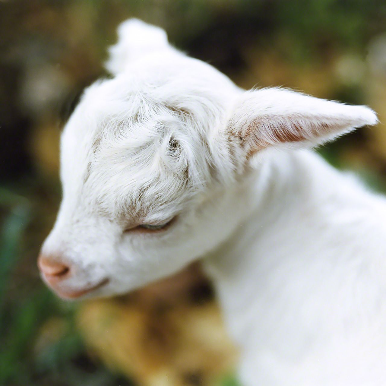 A baby goat, born around two week earlier, on Hatomajima.
