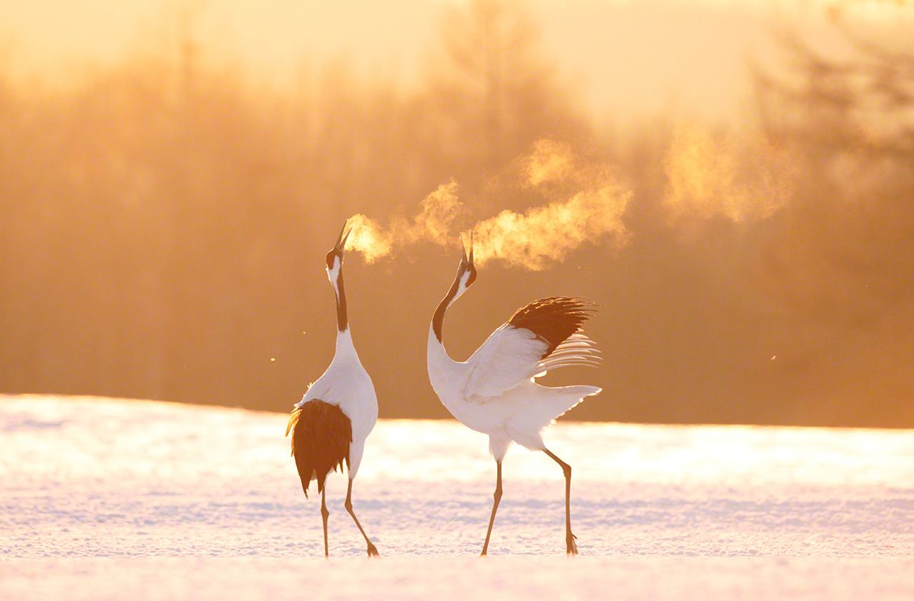 Cranes singing together on a cold morning (January).