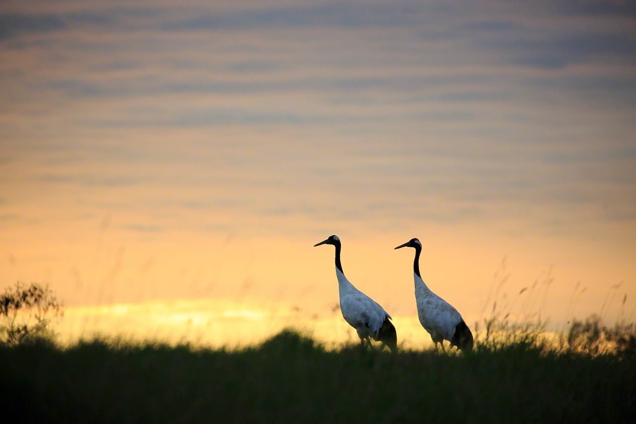 A mated pair in evening (September).