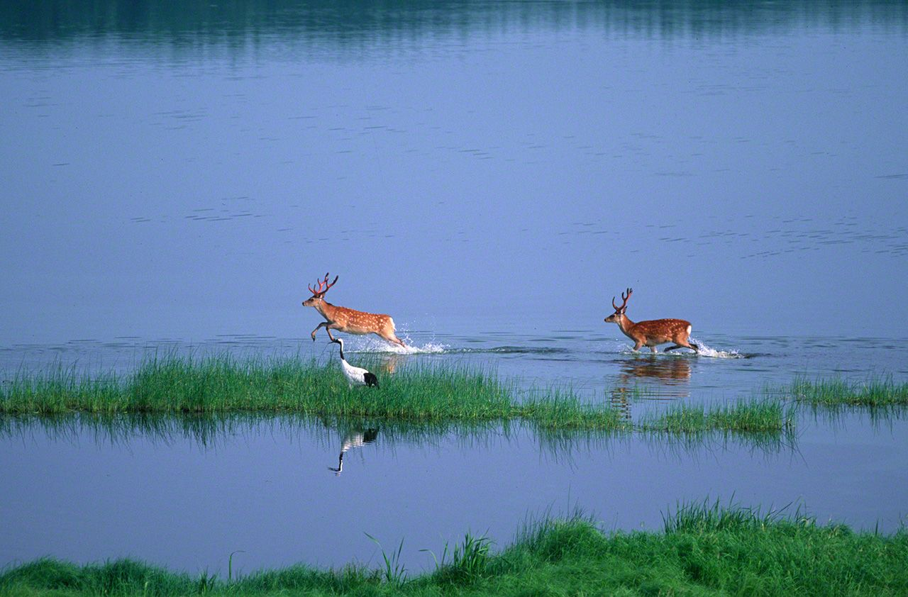 Yezo sika deer pass by a crane as they cross a wetland lake (October).