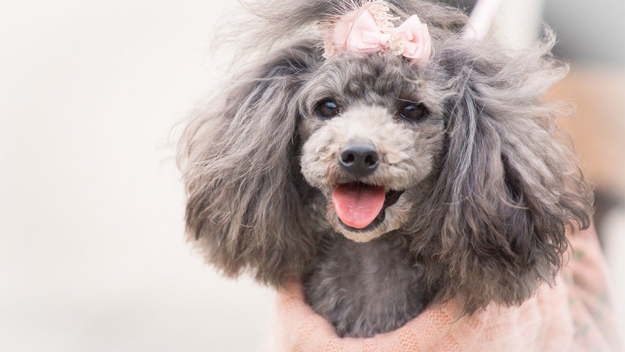 Poodle Small Dogs With Long Life
