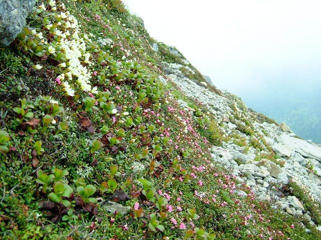 Flowers growing on slopes of Mount Nipesotsu. (Courtesy Ministry of the Environment)