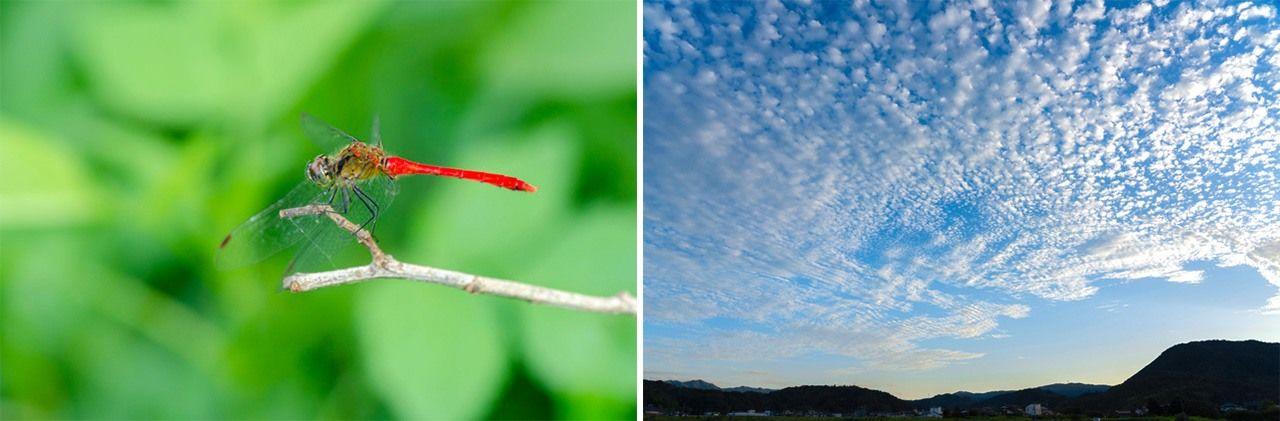 The red dragonfly (left) and bands of clouds known as urokogumo are common sights in autumn.
