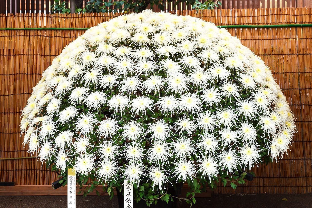 A senrin-zaki arrangement of chrysanthemum blossoms branching out from a single stem. (© Miwa Noriaki)