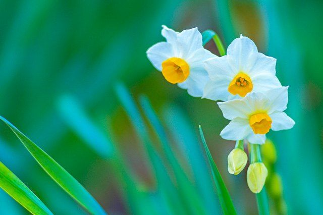 The delicately fragrant Japanese narcissus.