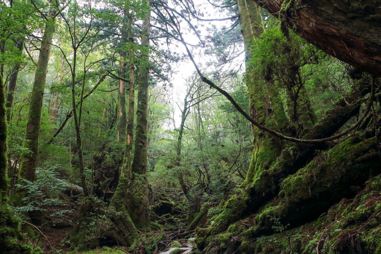La forêt primitive couverte de mousse sur l'île de Yakushima dans la préfecture de Kagoshima est une destination populaire pour les randonneurs.