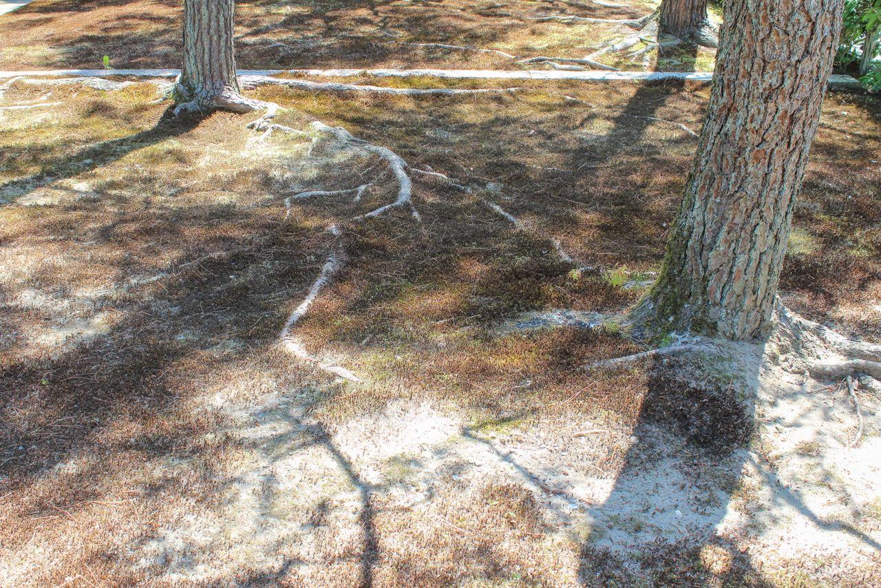 Mousse morte dans un jardin japonais causée par l'effet d'îlot de chaleur.