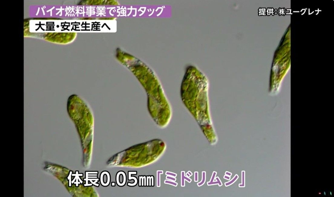 <em>Midorimushi</em>, tiny algae each around 0.05 mm long. (Photo courtesy Euglena Co., Ltd.)