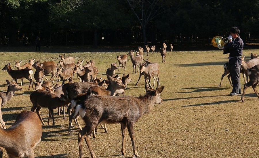 Deer living in Nara Park gather in response to the call of a French horn.