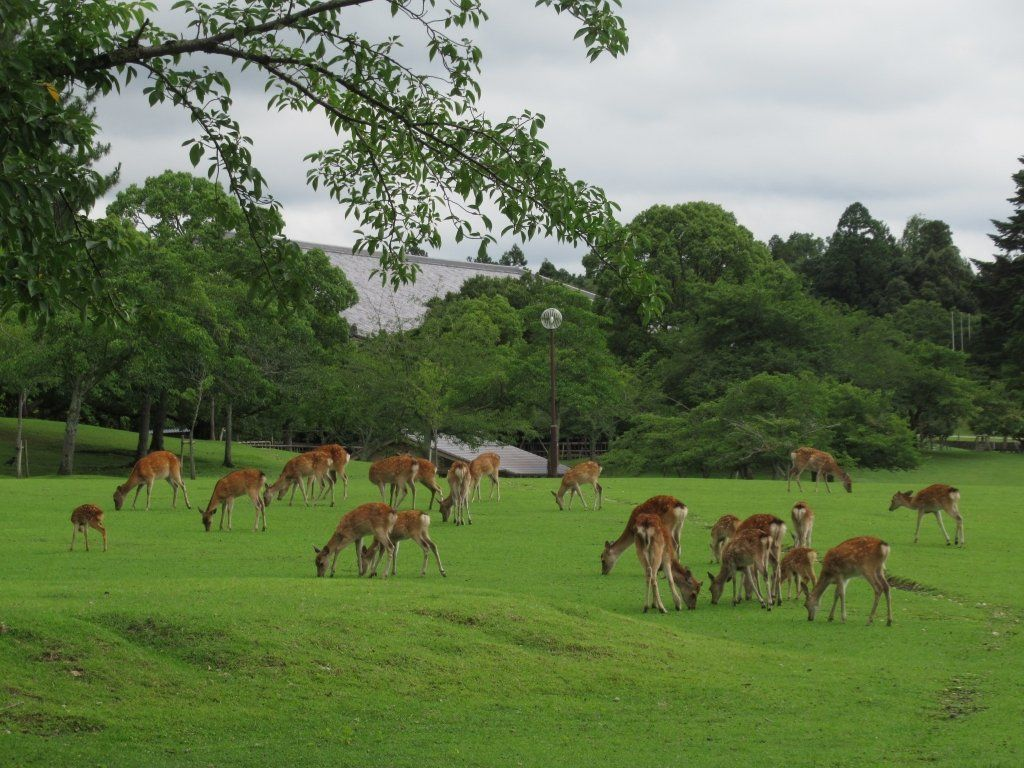 A herd of deer graze in Nara Park.